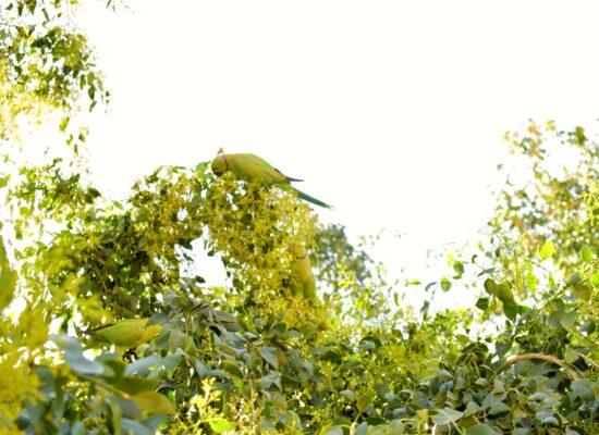 Parrots inside Mehrangarh Fort